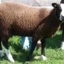 Zwartbles ewe lamb